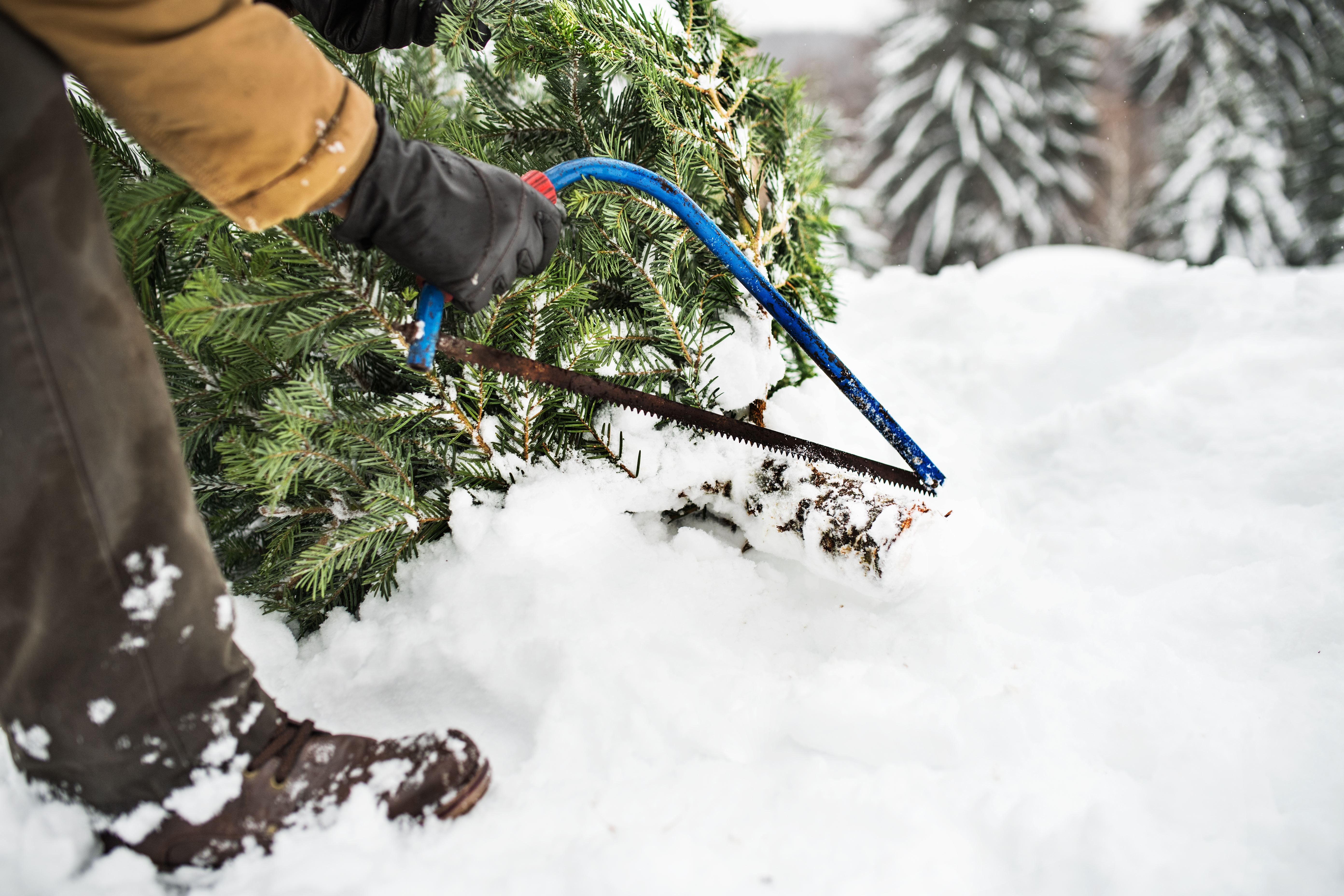 How to Prune Your Trees for Christmas